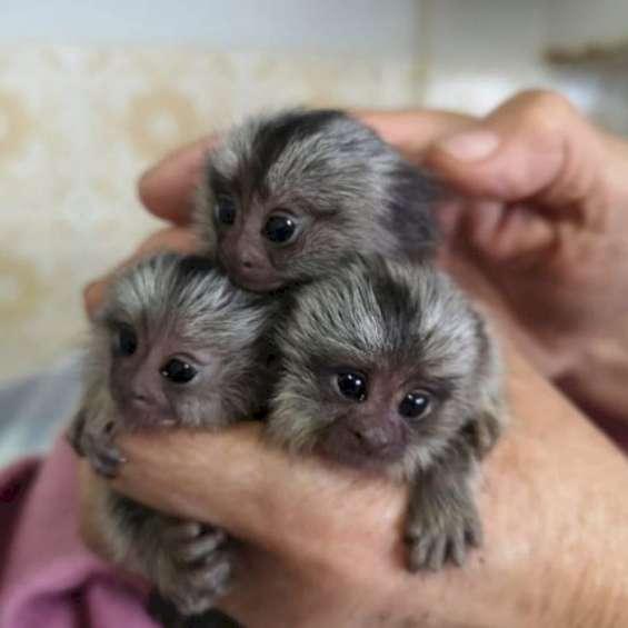 2 bebe monos titi para adopción